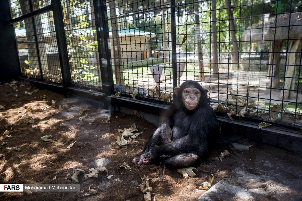 تصاویر: «باران» تنها بچه شامپانزه ایران