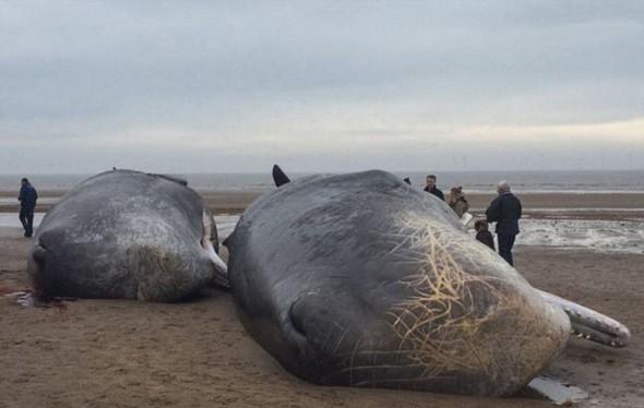 تصاویر : لاشه نهنگ های غول پیکر در ساحل انگلیس