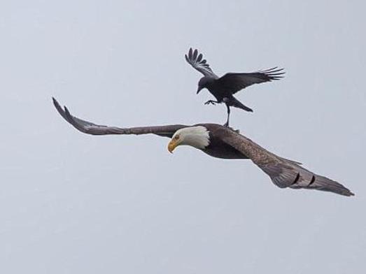 وقتی کلاغ از عقاب سواری میگیرد/ عکس