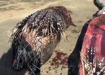 خودکشی مار با خوردن جوجهتیغی/ عکس