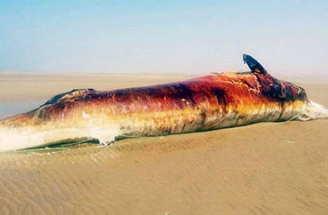 نهنگ 10 تنی در ساحل بوشهر/ عکس