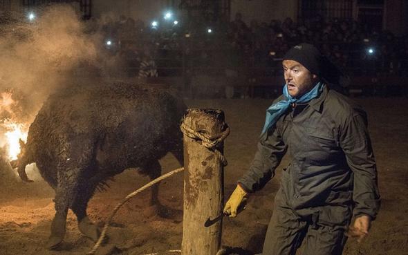 تصاویر : فستیوال گاوهای آتشین