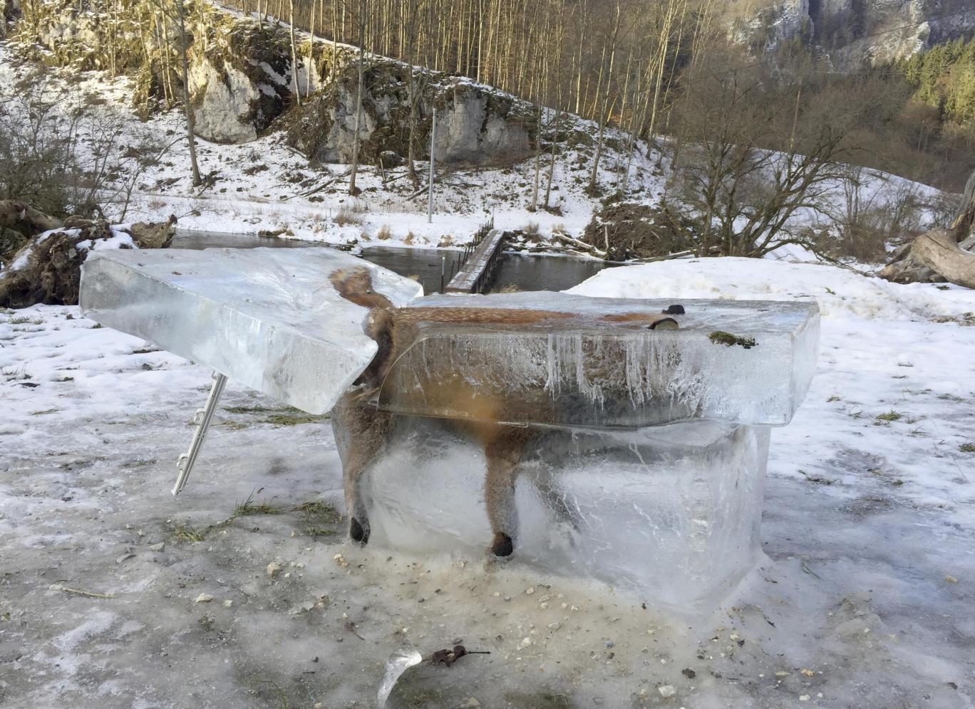 عکس | روباه یخزده در آلمان ؛ تصویری عجیب
