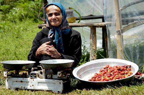 تصاویر : برداشت توتفرنگی در سیدشت رودبار