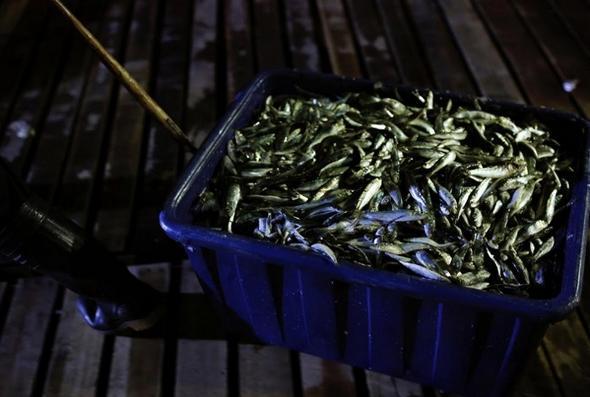 تصاویر : صید ماهی با آتش