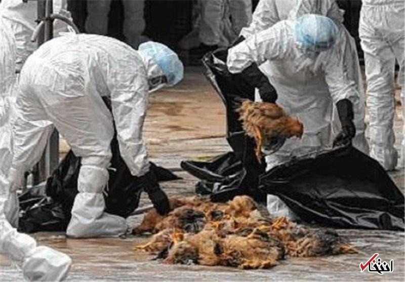 ورود نوع جدیدی از آنفلوآنزای پرندگان به کشور / قابلیت انتقال به انسان را هم دارد