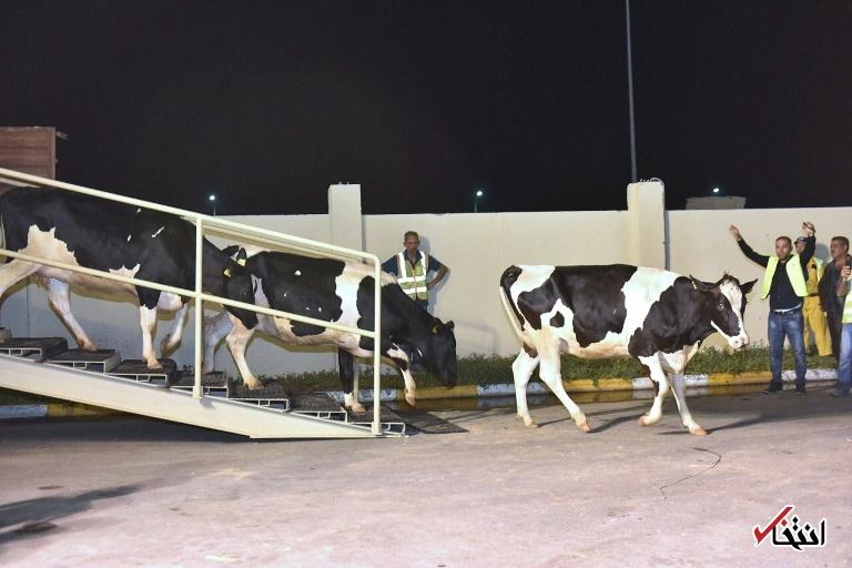 تصاویر : قطر گاو شیرده وارد کرد