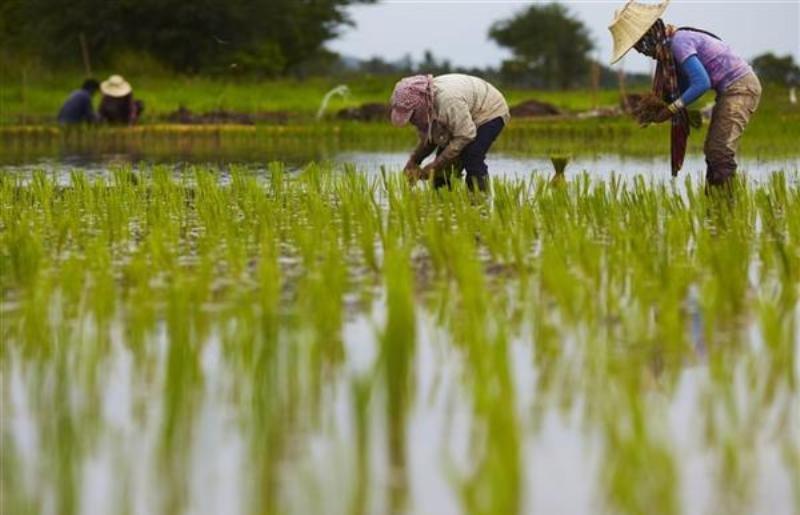 فقط 2 استان شمالی کشور مجاز به کشت برنج هستند