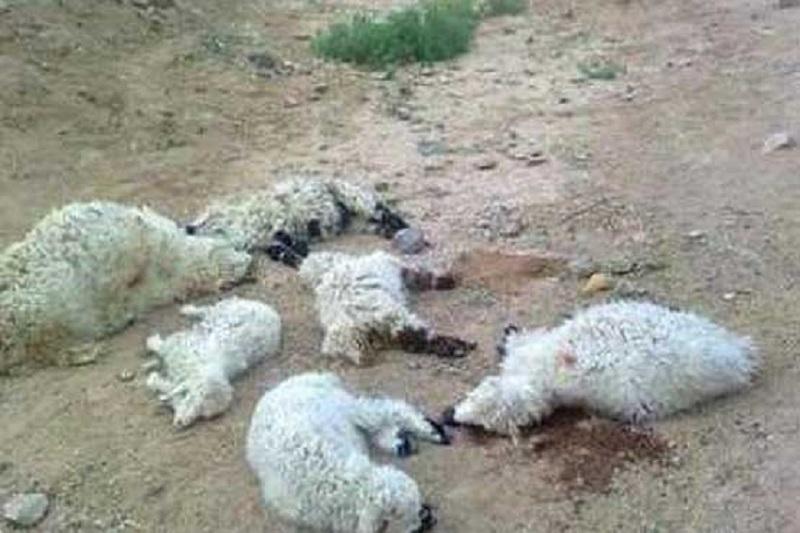 400 راس گوسفند در حمله پلنگ تلف شدند