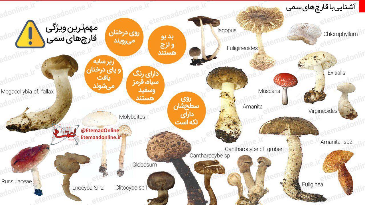 اینفوگرافیک/ قارچهای مرگبار را بشناسید
