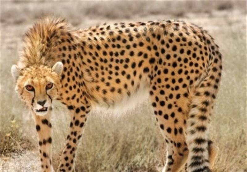 رؤیت یک قلاده یوزپلنگ آسیایی در پارک ملی توران شاهرود؛ امسال تصویر 14 قلاده یوز ثبت شد