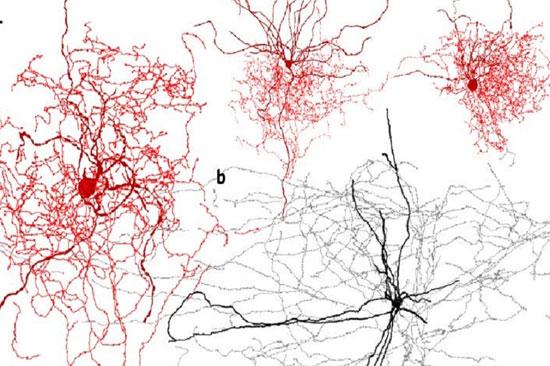 کشف سلولهای اسرارآمیز در مغز انسان