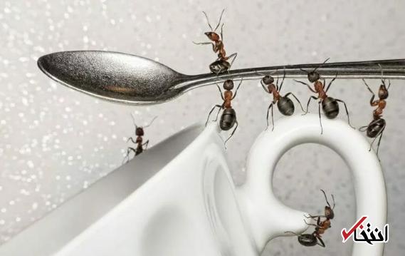 با حمله مورچه های مزاحم چه کنیم؟!