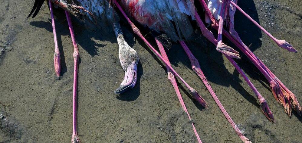 مرگ هزاران پرنده مهاجر در میانکاله