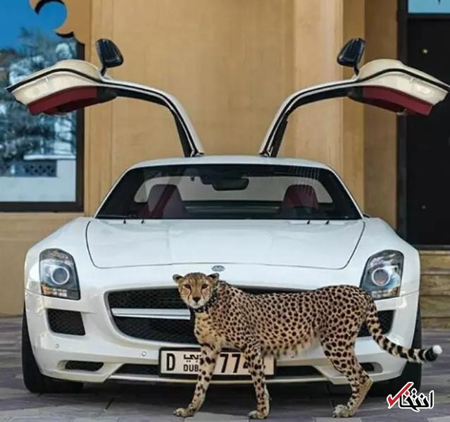 چگونه یوزپلنگ ها قربانی تجمل گرایی آقازاده های حاشیه خلیج فارس می شوند؟