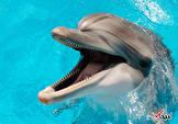 محققان آمریکایی دریافتند: اغلب دلفین ها راست دست هستند