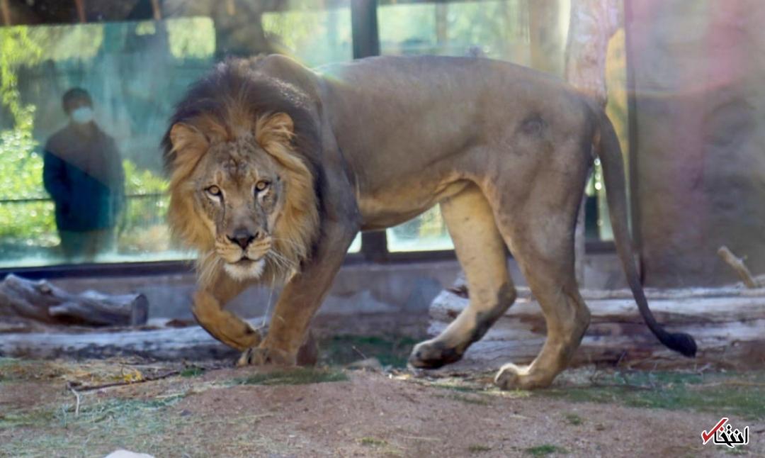 کارمندان باغ وحش، شیر سریلانکایی را کرونایی کردند